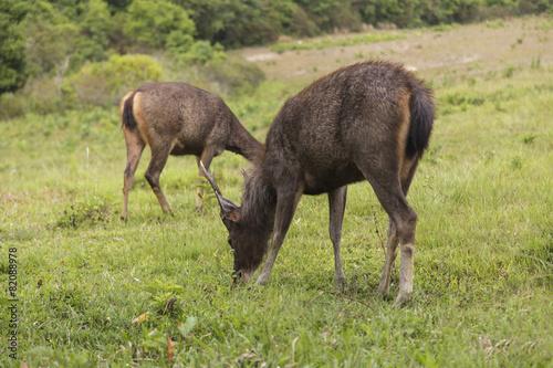 Plexiglas Antilope Antelope