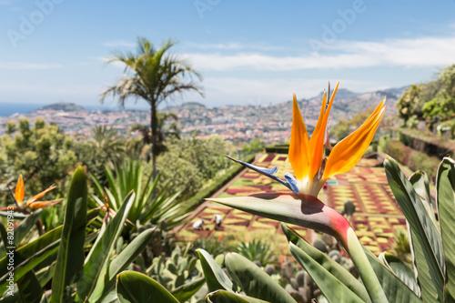 Strelitzia in Botanical garden of Funchal at Madeira Island