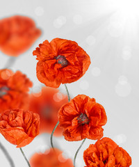 red poppy flowers on light grey background