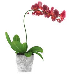 Orchid flower pot isolated