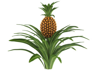 Pineapple bush