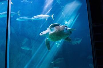 Sea turtle swimming with fish in tank