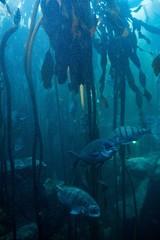 Fish swimming in a darkest tank with algae