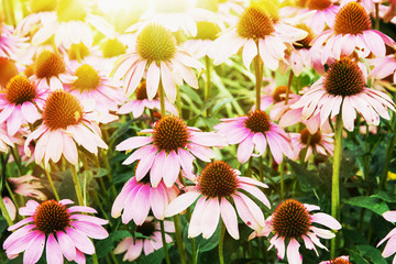 Beautiful Echinacea flowers