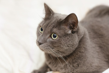 grey cat lying in bed, playfull mood