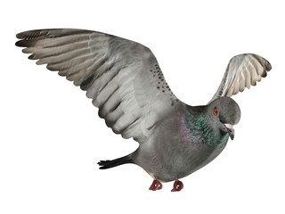 Flying pigeon isolated