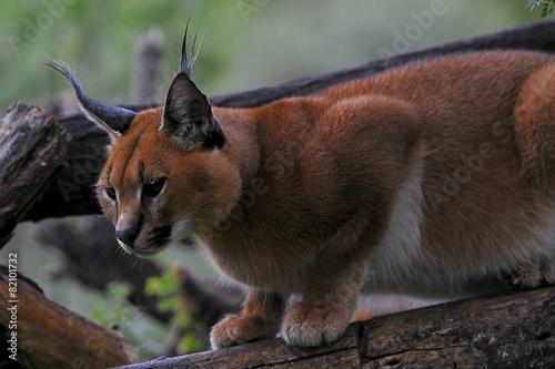 Deurstickers Lynx Karakal (caracal caracal)