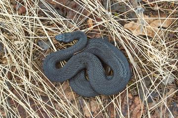 Poisonous black adder.