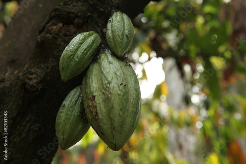 Foto op Plexiglas Indonesië Cacao Tree (Theobroma cacao).