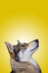 Siberian Husky dog Portrait looking up