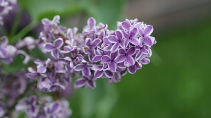 purple lilac on green leaves background