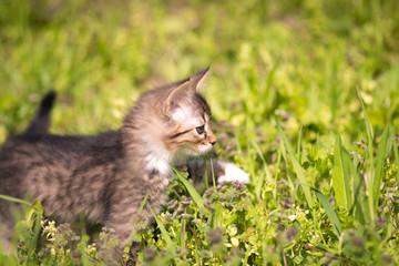 little kitten walks in green grass