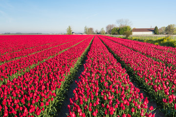 Almost endless rows of red blooming tulips