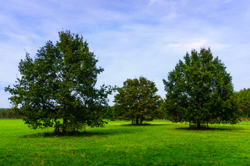 meadow with  big oak tree