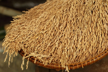 Rice in the husks, paddy, unmilled rice in wicker bamboo basket.