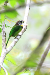 Fire-tufted Barbet (Psilopogon pyrolophus) in Sumatra, Indonesia