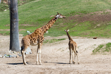 giraffe - giraffe camelopardalis