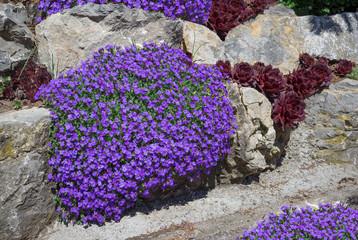 Lila blühende Blaukissen in einem Steingarten