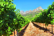 Vineyard in mountains - 82126158