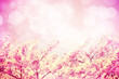 An image of pink tone cherry blossoms flowers and bokeh backgrou