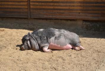 Hängebauchschwein liegt faul in der Sonne