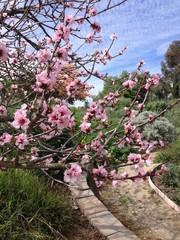 ピンクの梅の花 ロサンゼルス