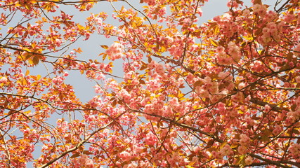 Japanese Cherry Trees Blossoming at Museumplein in Amsterdam