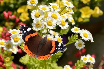 Schmetterling 135