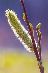 Ива остролистная (Salix acutifolia)