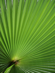 Fächerpalme - fan palm - Trachycarpus fortunei