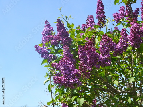 Foto op Canvas Lilac lilas rose