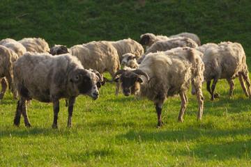 pasture of sheep