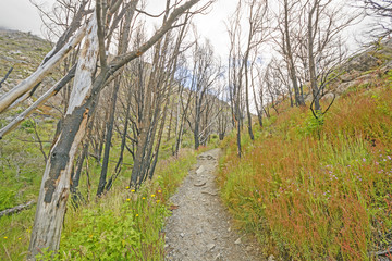 Trail through a Fire Scarred Forest
