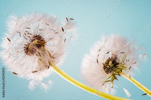 Dandelion clocks dispersing seed :)