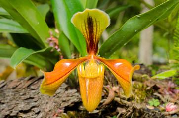 Splendid Paphiopedilum Slipper Orchid