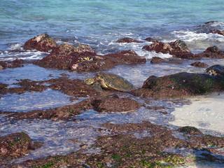 オアフ島 海岸の亀