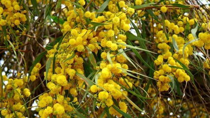 Acacia dealbata, also called silver wattle, or mimosa (4K)