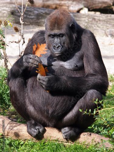 Foto op Canvas Aap Female gorilla