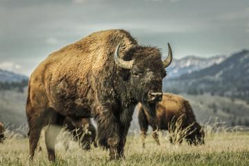 Buffalo grazing in grassy rural field