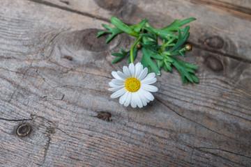 Margaret flower on rustic wood background