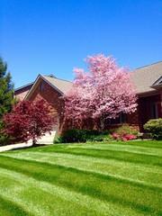 Dogwood tree in blossom