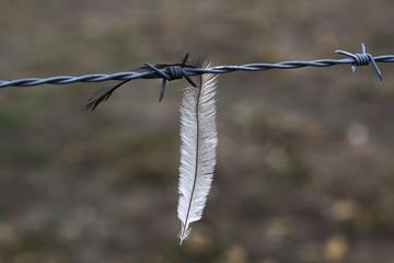 Emu Feather Stuck on Fence