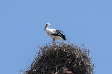 White stork, Ciconia ciconia, on the nest