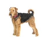 airedale - 82156591