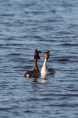 Great Crested Grebe in summer plumage