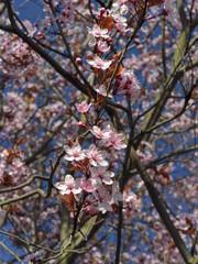 Wiosna, kwitnące pąki na drzewach