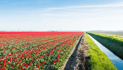 Field with red flowering tulips next to a ditch