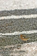 Buchfink am Boden