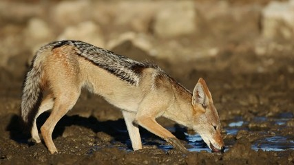 Black-backed Jackal drinking water, Kalahari desert