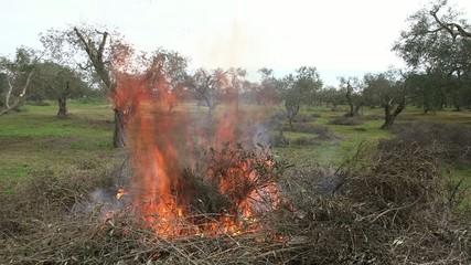 Rogo di sterpaglie tra gli ulivi